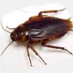 kakerlakker - info om forebyggelse mod kakerlakker